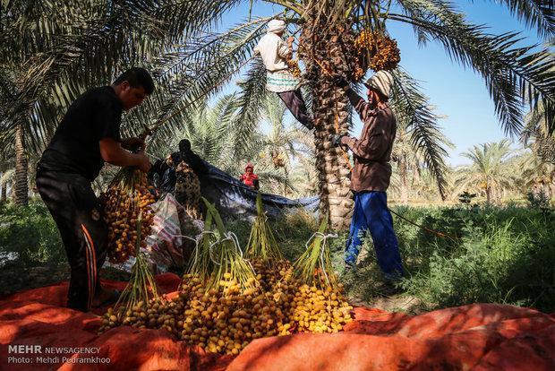 پیش بینی کاهش برداشت خرما در آبادان به علت شوری آب