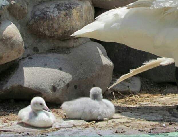 خبرنگاران کمیاب ترین گونه جوجه قوی فریادکش در باغ پرندگان تهران به دنیا آمد