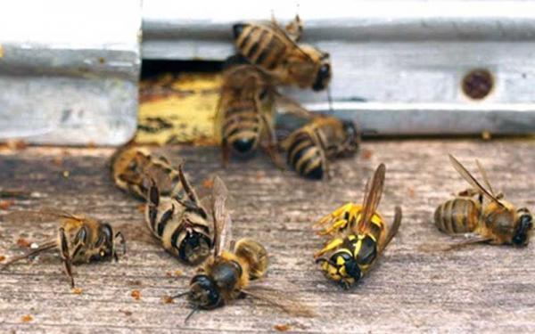 تلفات جمعیت زنبورعسل در زمستان طبیعی است